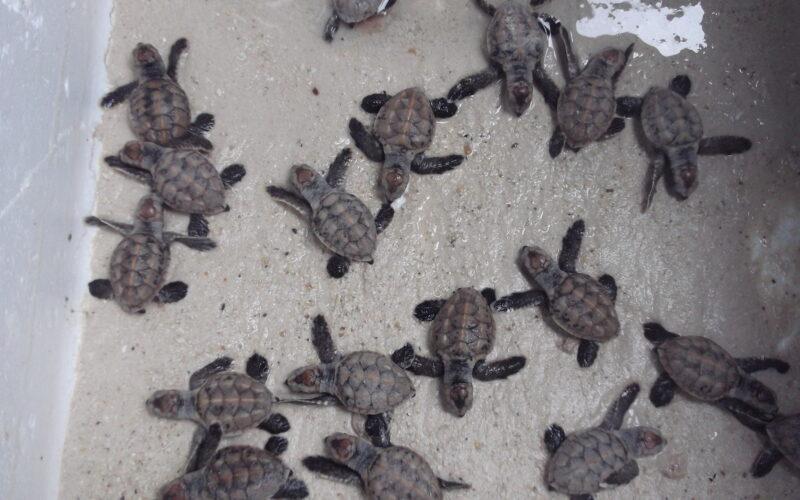 turtle conservation koh talu