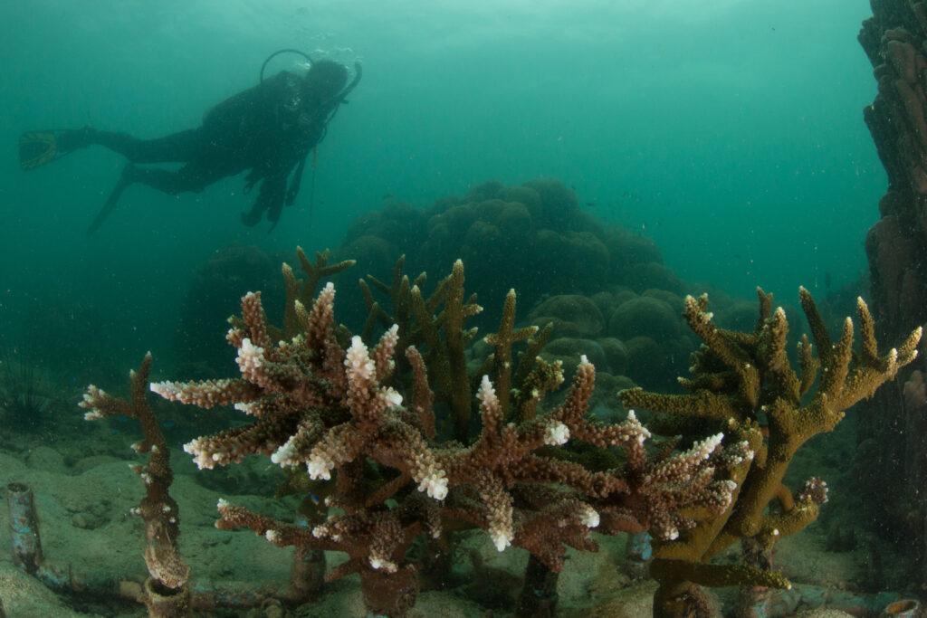 ปะการังเขากวาง